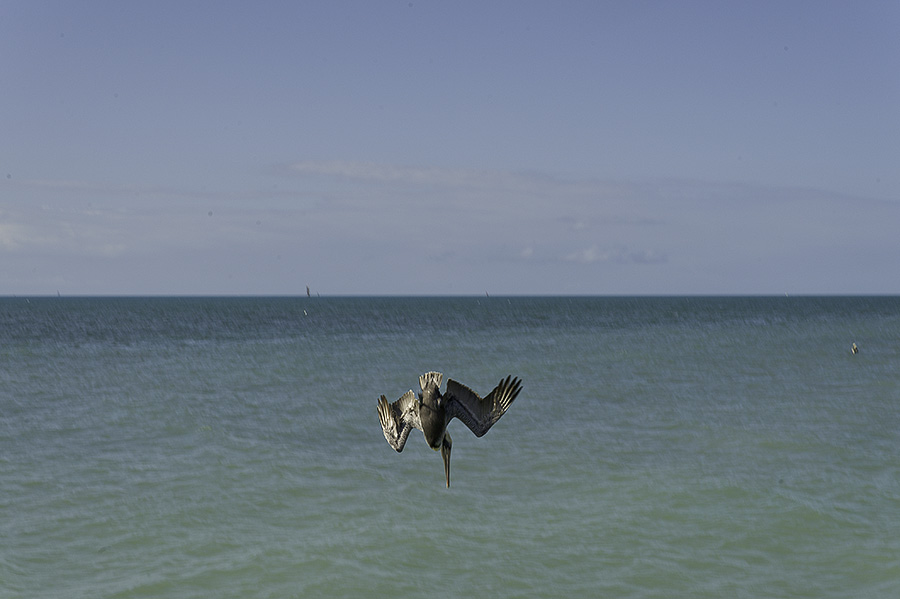 201201247-068--pelican-diving-for-fish-900